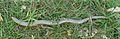 Anguis fragilis 02.jpg