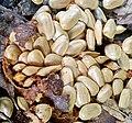 Annona glabra - Seeds.jpg