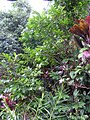 Annona montana, aticum - Flickr - Tarciso Leão (9).jpg
