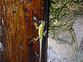 Anolis luciae on wall.jpg