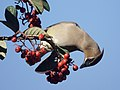 Another Cedar waxwing at the Toyon (47147679722).jpg