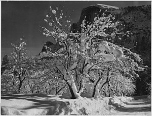 Conservation photography - Photo by Ansel Adams of Yosemite Half Dome, Apple Orchard, trees with snow on branches in April 1933