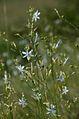 Anthericum ramosum (8248158892).jpg