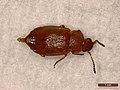 Anthobium unicolor (39831309414).jpg