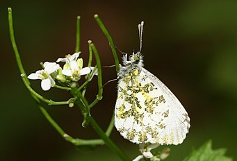Anthocharis cardamines-03 (xndr).jpg