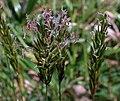 Anthoxanthum odoratum in flower.jpg