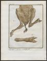 Antilope spec. - achterlijf - 1700-1880 - Print - Iconographia Zoologica - Special Collections University of Amsterdam - UBA01 IZ21400075.tif