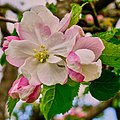 Apfelblüte (207810989).jpeg