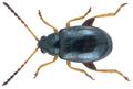 Aphthona euphorbiae (Schrank, 1781) (5929524449).png