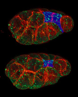 Apical constriction - Two stages in the constriction of apical surfaces (blue) of a pair of cells in C. elegans.