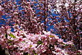 Apple-spring-bloom - West Virginia - ForestWander.jpg