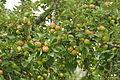 Apples in Lustleigh orchard (1527).jpg