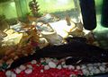 Aquarium fish5.JPG