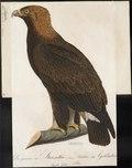 Aquila chrysaëtos - 1800-1812 - Print - Iconographia Zoologica - Special Collections University of Amsterdam - UBA01 IZ18100159.tif