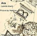 Ara by Hevelius.jpg
