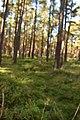 Araneus auf Usedom.jpg