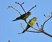 Aratinga canicularis -Costa Rica -two-8 (1).jpg
