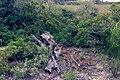 Arbre mort - Réserve naturelle régionale de Sainte Lucie 02.jpg