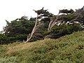 Arbres déformés par le vent - panoramio.jpg