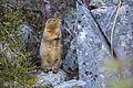 Arctic Ground Squirrel - Spermophilus parryii (21482875265).jpg