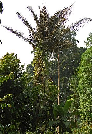 Arenga pinnata - Image: Aren pinna 070612 042 stgd