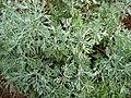 Artemisia australis (5209400605).jpg