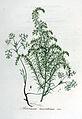Artemisia maritima — Flora Batava — Volume v6.jpg