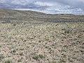 Artemisia pedatifida — Matt Lavin 008.jpg