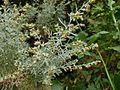 Artemisia thuscula Tenerife 2.jpg