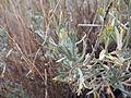 Artemisia tridentata spiciformis (7832391350).jpg