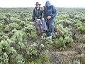 Artemisia tridentata wyomingensis (3714467363).jpg