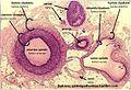 Arterijos ir venos skerspjūvis.JPG