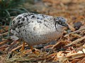 Asian Blue Quail RWD3.jpg