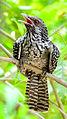 Asian Koel (Eudynamys scolopaceus) Female - Tirunelveli.jpg