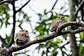 Asian barred owlet (Glaucidium cuculoides) 03.jpg
