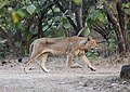 Asiatic lion 07.jpg