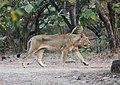 Asiatic lion 07.jpg