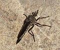 Asilidae (32555036825).jpg