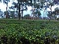 Assam's Tea Garden.jpg