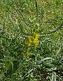 Astragalus macrocarpus.jpg