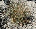 Astragalus preussii var preussii 1.jpg