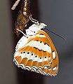 Athyma perius - Common Sergeant 09.jpg