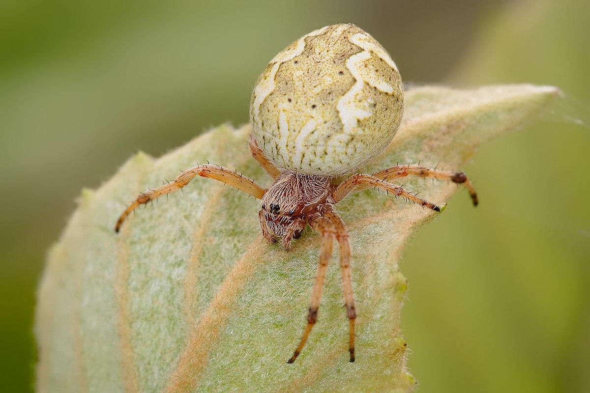 australian garden orb weaver spider wikipedia - Garden Spider
