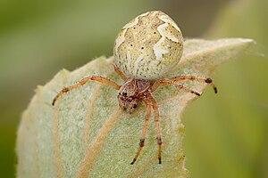 Australian garden orb weaver spider - Image: Australian orb weaver
