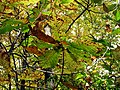 Autum Leaves Black Mountain Campground Pisgah Nat Forest NC 4410 (37238441974).jpg