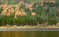 Autumn Pine by Loch Eck (1142428466).jpg