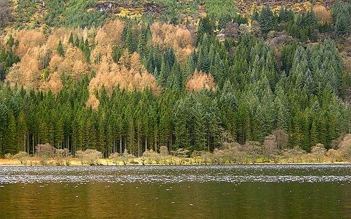 Autumn Pine by Loch Eck (1142428466)