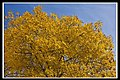 Autumn Yellow of Canberra-1 (5660422778).jpg