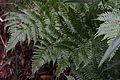 Autumn fern (Dryopteris erythrosora) (15164801019).jpg