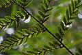 Autumn fern (Dryopteris erythrosora) (15324610557).jpg